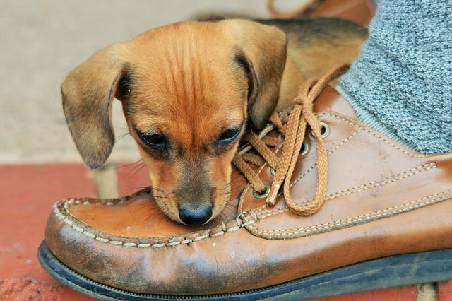 Si no quieres que tu cachorro muerda tus zapatos, nunca le dejes los viejos como juguete