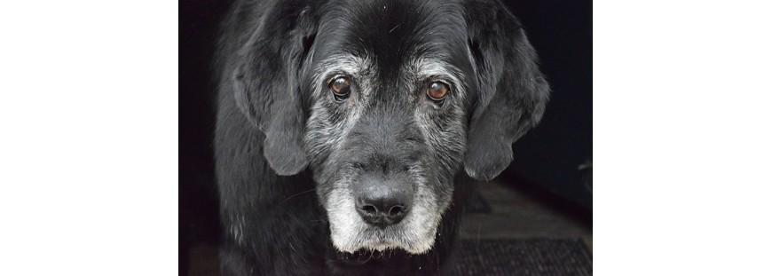 Cuidados de los perros geriátricos